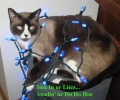 Christmas Decorated Cat