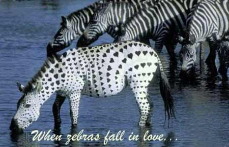 When Zebras Fall In Love