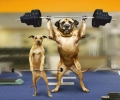 Funny Weightlifting Dogs