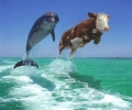 Dolphin Vs Cow Swimming Contast