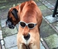 Sun Glass Dog