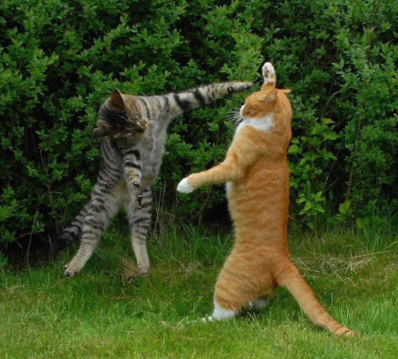 Martial Arts Cat